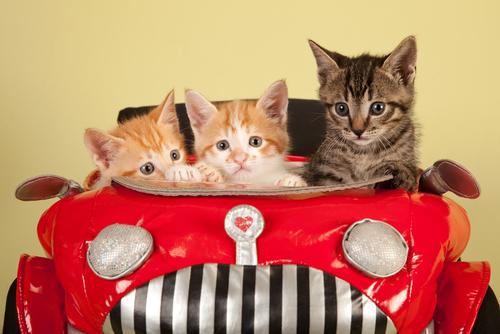 kittens car