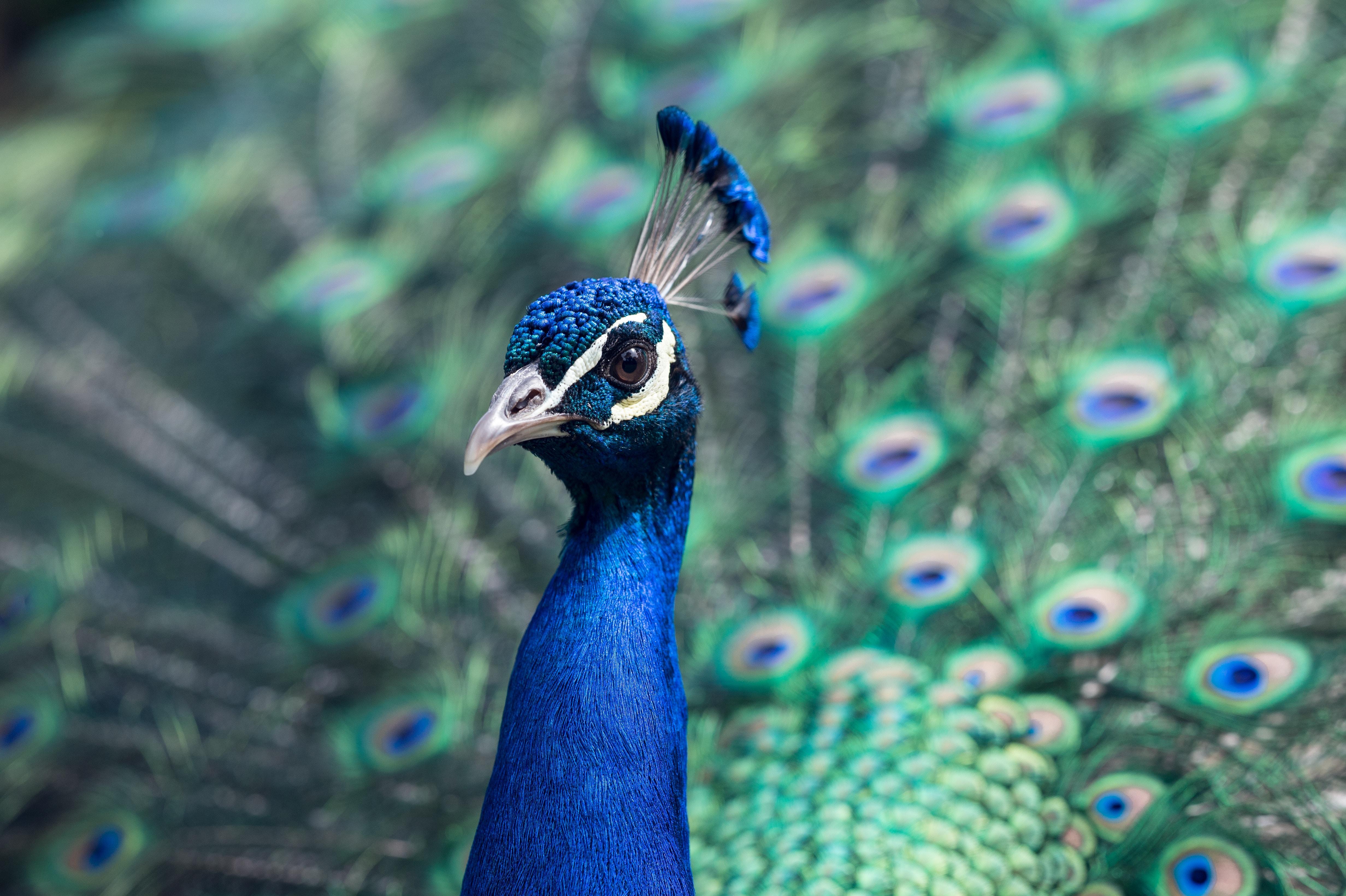 peacock photo by Tj Holowaychuk on Unsplash