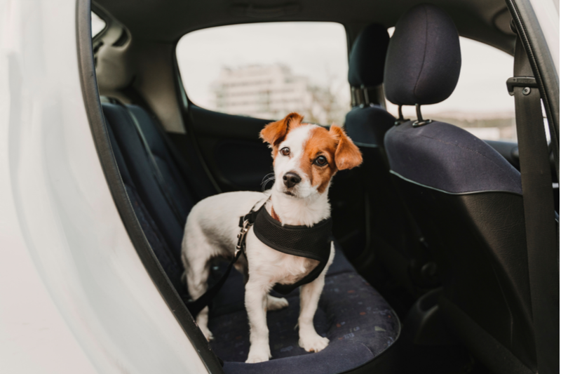 keep dog safe in the car in a dog car harness